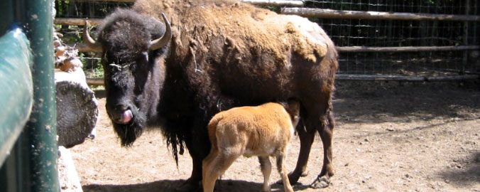 Alberta - Bison Mother and Calf