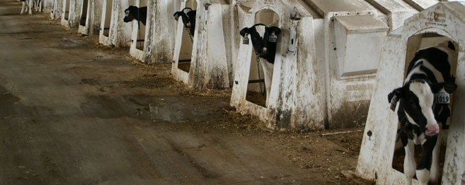 Dairy Farms - Design Features
