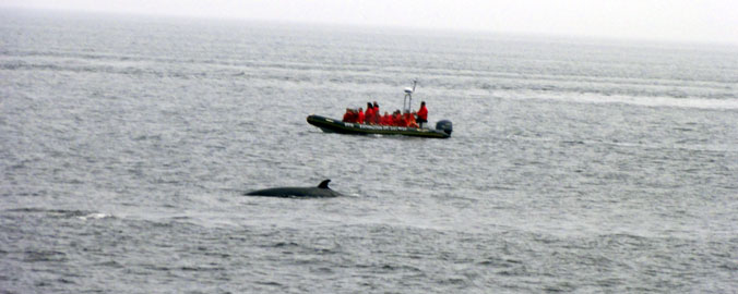Quebec Whale Watching - Minke Whales