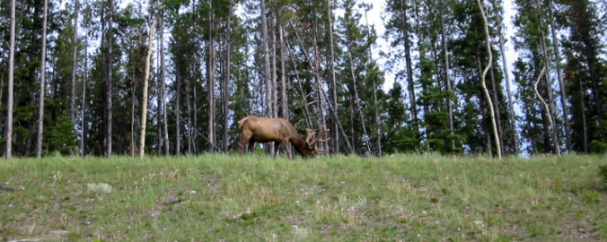 Wild Elk in Banff National Park